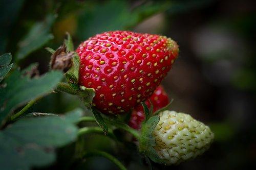 strawberry  ripening process  garden