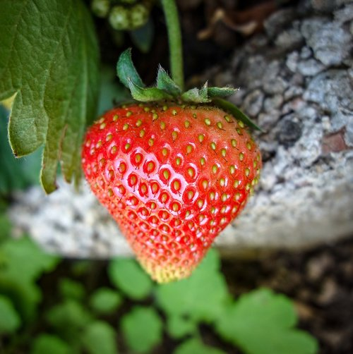strawberry  unripe strawberry  growth