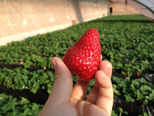 strawberry green house farm