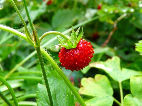 strawberry wood strawberry red