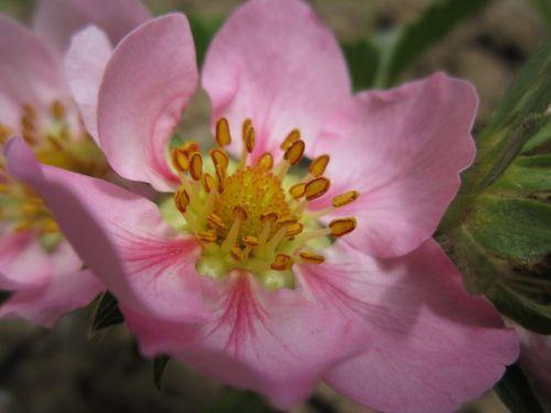 strawberry flower strawberry blossom