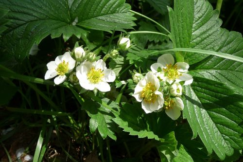 strawberry flowers strawberry blossom