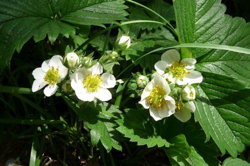 strawberry flowers strawberry blossom
