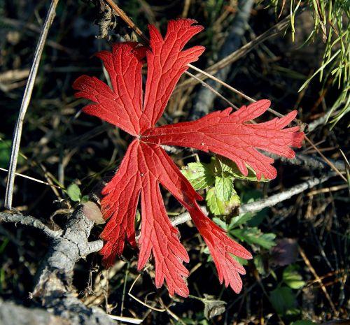 strawberry leaf red one
