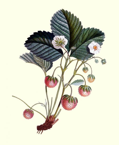 strawberry plant strawberry strawberries