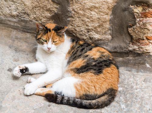 stray cat calico stray