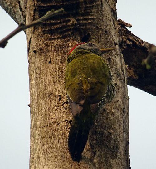 streak-throated woodpecker bird woodpecker