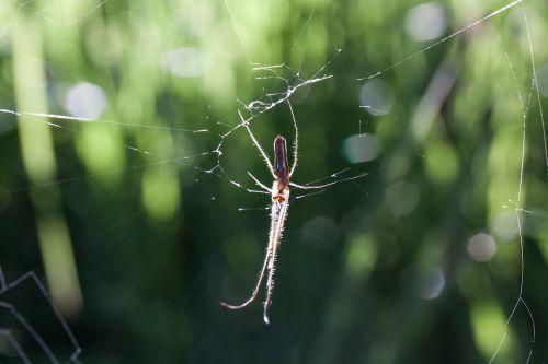 strecker spider tetragnatha extensa web spider