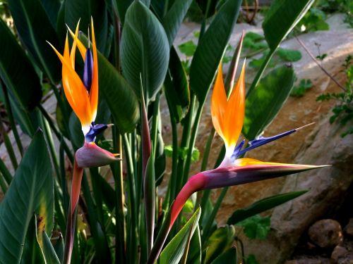 strelitzia flowers bird flower