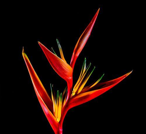 strelitzia blossom bloom