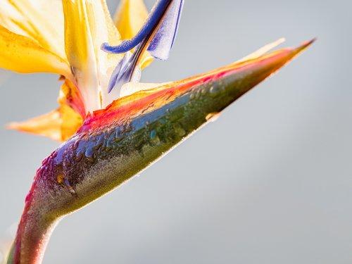 strelitzia  bird of paradise  flower
