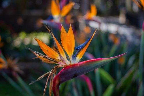 strelitzia  bird of paradise  exotic