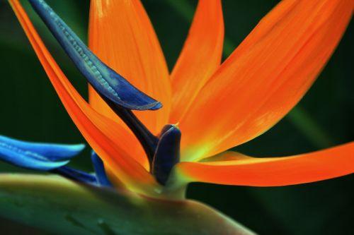 gėlė, oranžinė, mėlynas, nacionalinis, kranas, paukštis & nbsp, rojus, Uždaryti, Strelitzia uždaryti