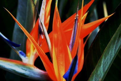 Strelitzia, Crane Flower