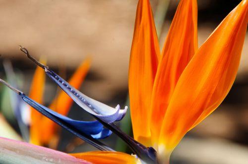 Strelitzia Flower Close-up