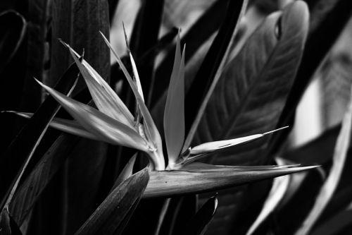 Strelitzia In Black And White