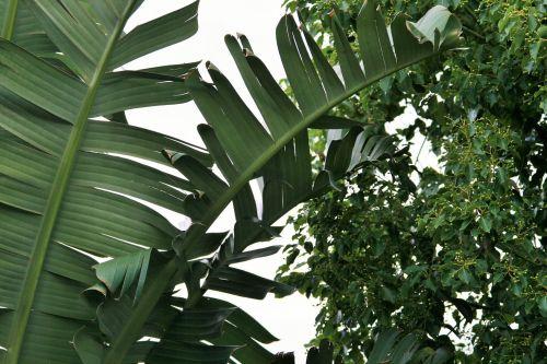Strelitzia Leaves