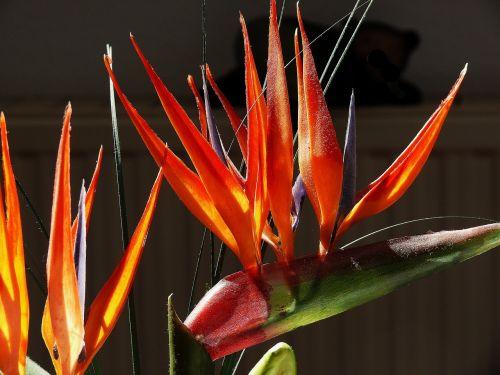 strelitziaceae strelizie caudata greenhouse