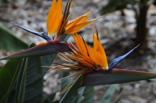 strelizie exotic bird of paradise flower
