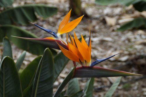strelizie parrot flower bird of paradise flower