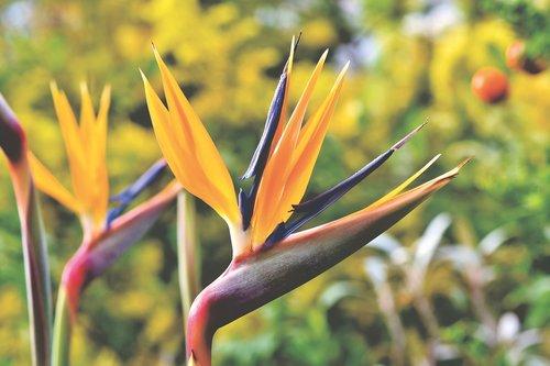 strelizie  parrot flower  paradise flower