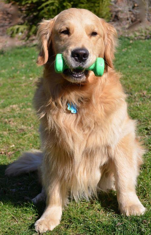 strength dog golden retriever