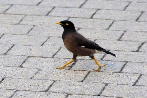 Striding Indian Mayna Bird