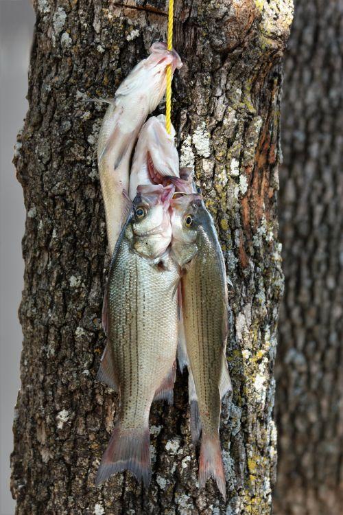 Stringer Of Fish