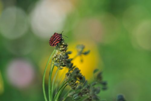 strip bug graphosoma lineatum bug
