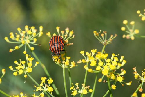 fenchelbüte strip bug bug