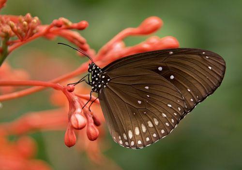 striped core butterflies butterfly