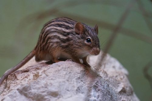 striped grass mouse long tailed mouse old world mouse