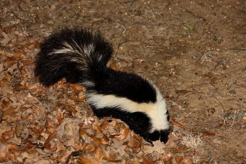 Striped Skunk In Leaves