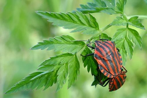 stripes bugs insect pairing