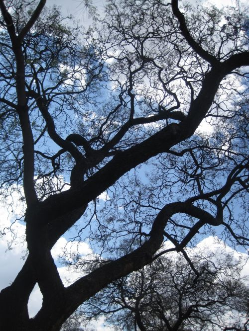 Strong Black Jakaranda Tree Trunk
