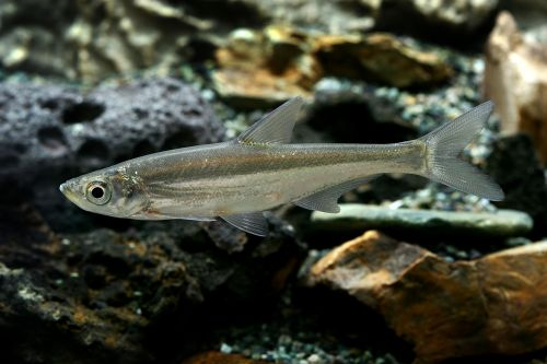 strong value freshwater fish fishes