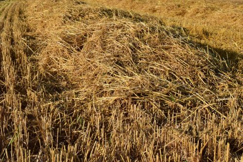 stubble harvested straw