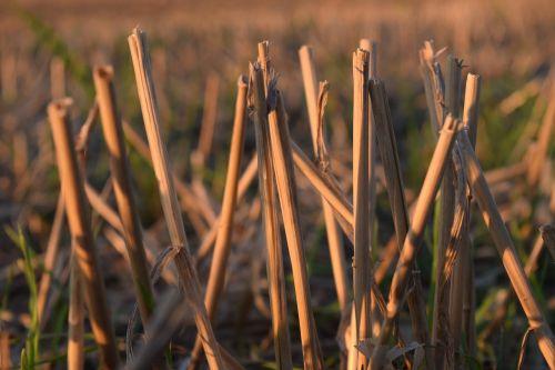 stubble halme harvested