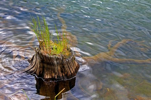 stump stump in water grass growing in stump