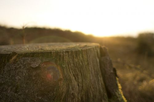 stump snag tree