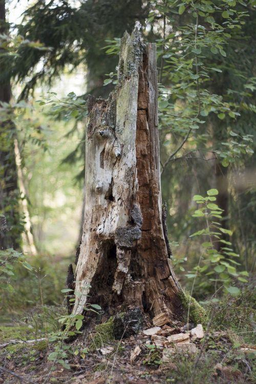stump tree rotten