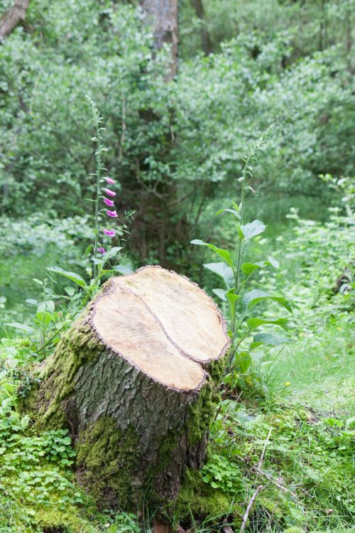 Stump Of Sawn Tree