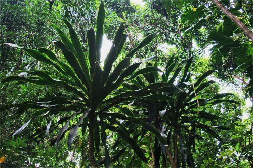augalai, augmenija, yuka, tamsintas, subtropinis, subtropinė augmenija