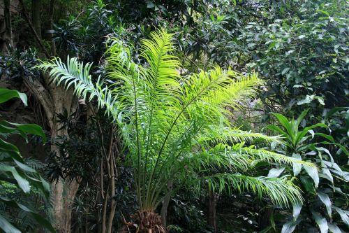 augalai, augmenija, fernlike, tamsintas, subtropinis, subtropinė augmenija 2
