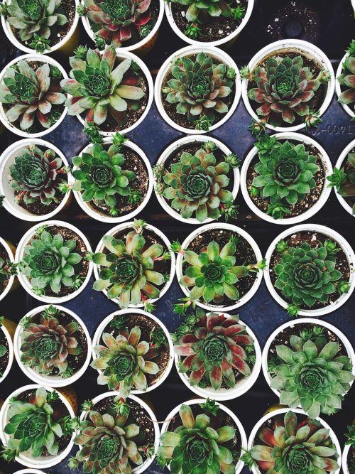 sultingas,augalas,puodą,sodininkystė,darželis,dauginimas,sodininkystė,auga