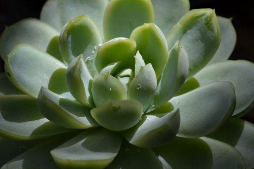 succulent plant green