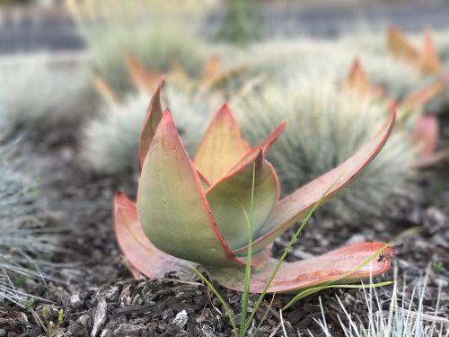 succulent sedum catus