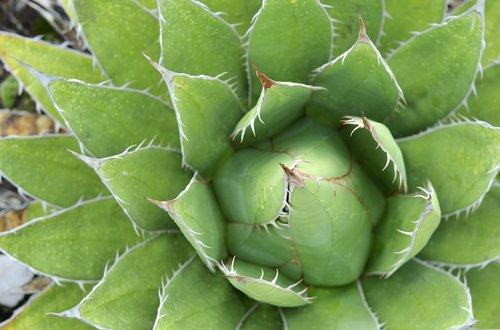 succulent  green  plant