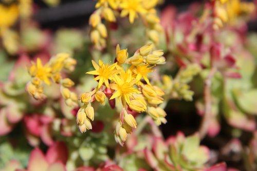 succulent  flowering succulent  fulfillment