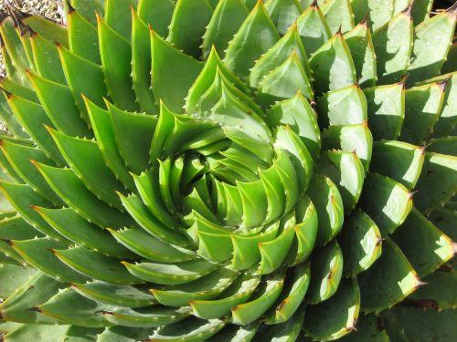 spiral succulent cactus